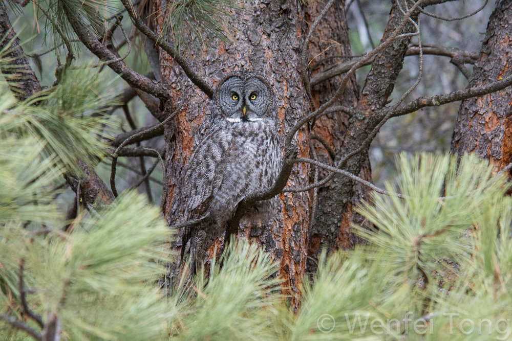 Great grey owl 15min drive from downtown Missoula
