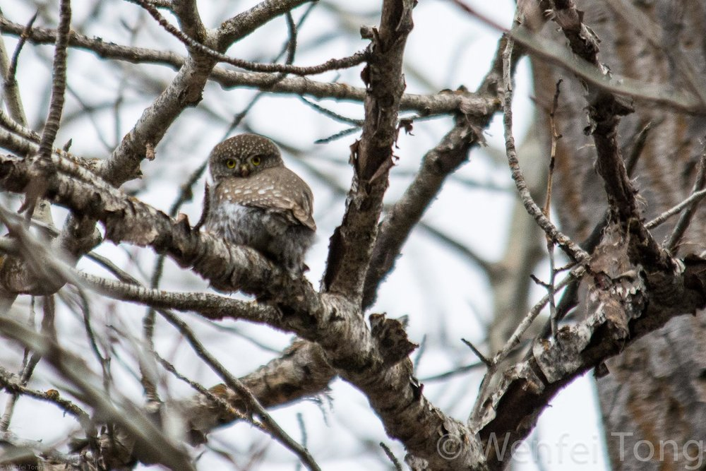 Northern pygmy owl 15min drive from downtown Missoula