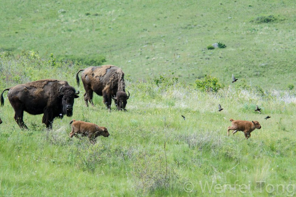 Bison cows with young calves and brown-headed cowbirds
