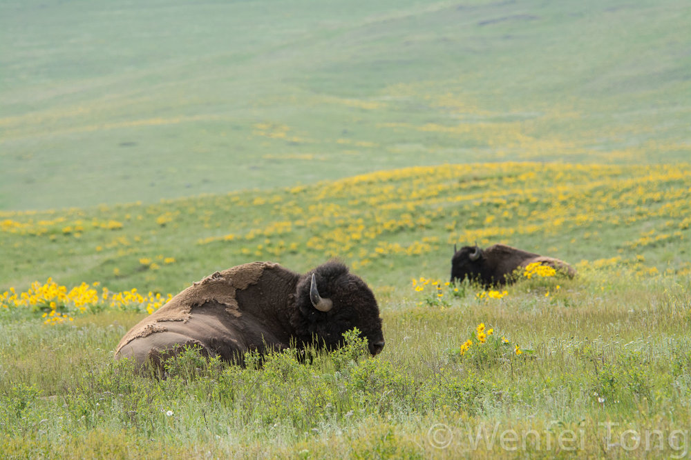 Sleepy bison bulls lying in a bed of arrowleaf balsamroot