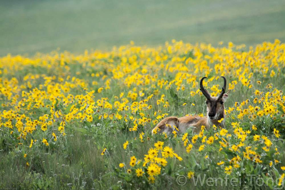 Pronghorn buck among the arrowleaf balsamroot