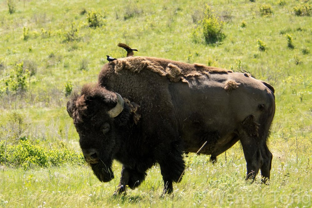 Bison bull with brown-headed cowbirds