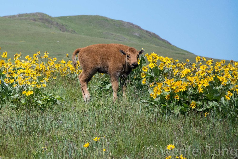 Bison calf among the arrowleaf balsamroot