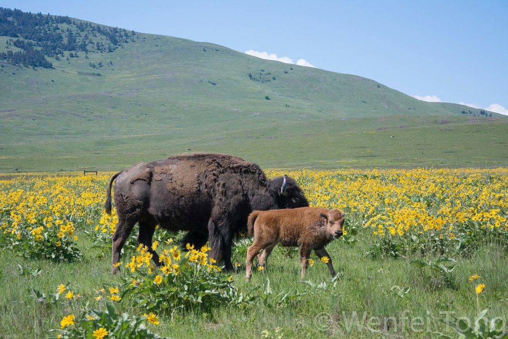 Bison cow and calf among the arrowleaf balsamroot