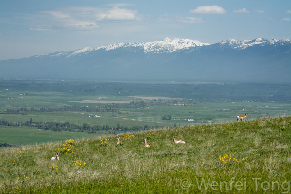 Pronghorn herd with the Missions in the background