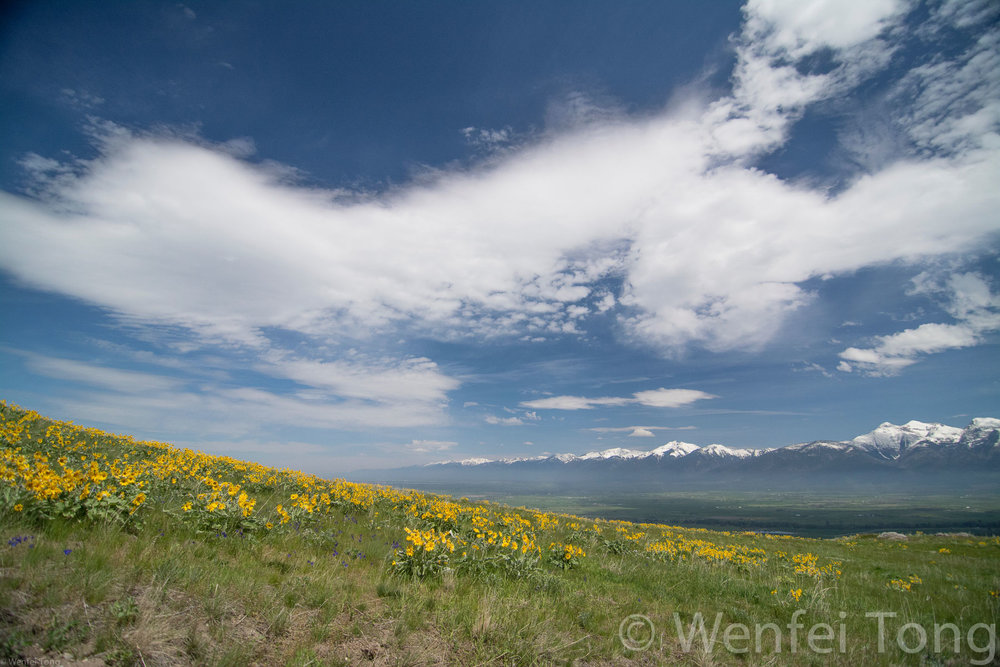 Arrowleaf balsamroot in bloom