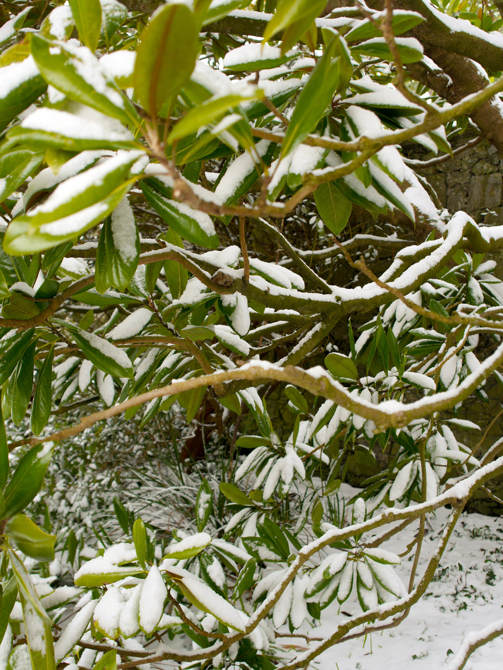 snow covered branches in Dublin, Ireland