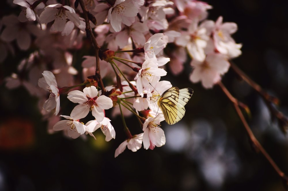 Cherry blossoms by  Joanne Gerber