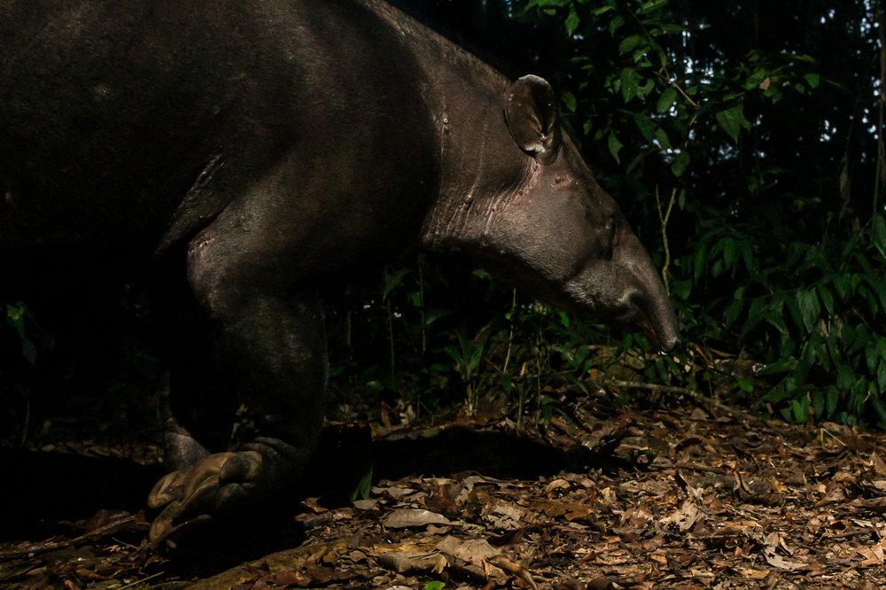 Tapirus terrestris (Tapir)