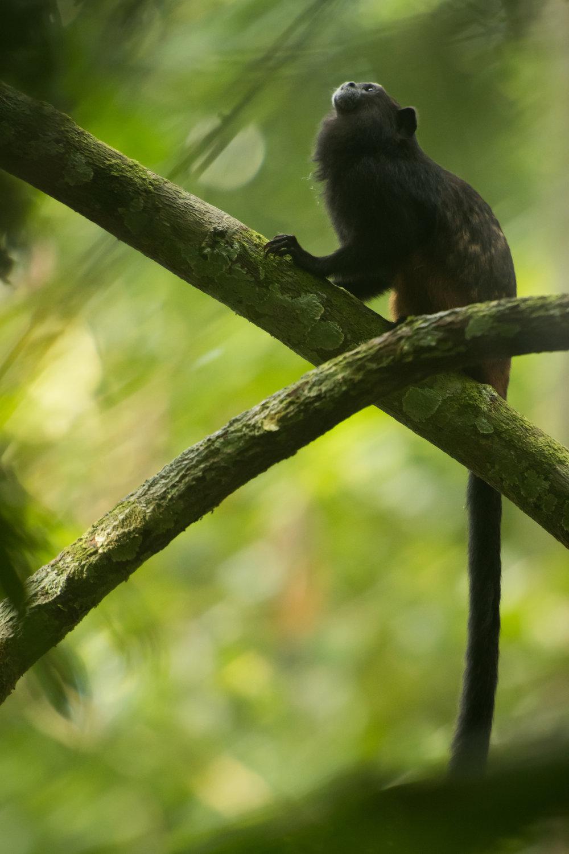Saguinus weddelli (Saddleback Tamarin)