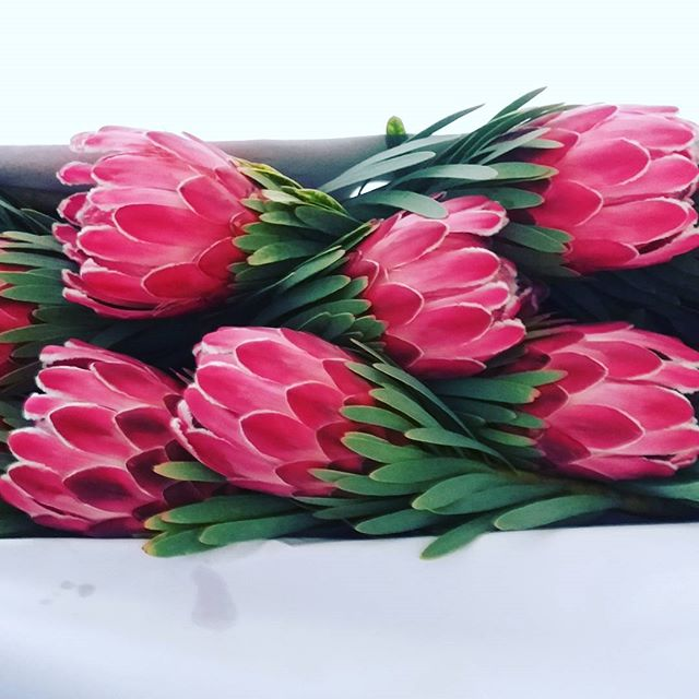 Our first Protea Venus for export, we love sharing the Nelson sunshine with the world #picknz #nzgrown #nelsonnz #Proteas #nelsonflowers