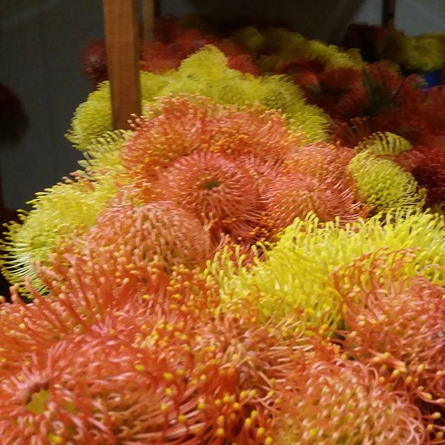 Our amazing vibrant Leucospermum all ready to head off to Japan tomorrow #nzgrown #nelsonnz #Proteas #nelsonflowers