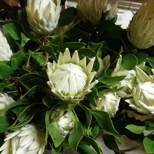 The last of our export white Kings off to the Christmas market. Merry Christmas everyone, we are off for a well deserved break at the beach. #picknz #nzgrown #nelsonnz #nelsonflowers #Proteas