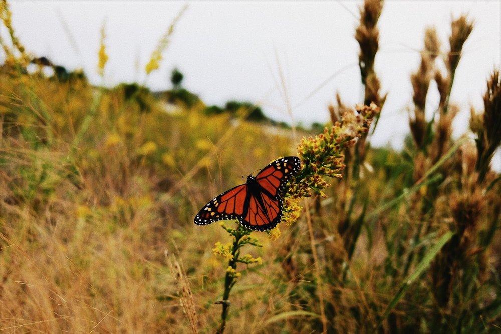 Monarch  at Grayton Beach State Park, FL