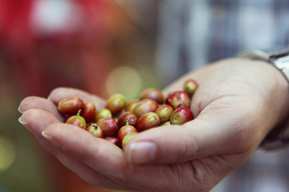 Harvesting Coffee Cherry in hand
