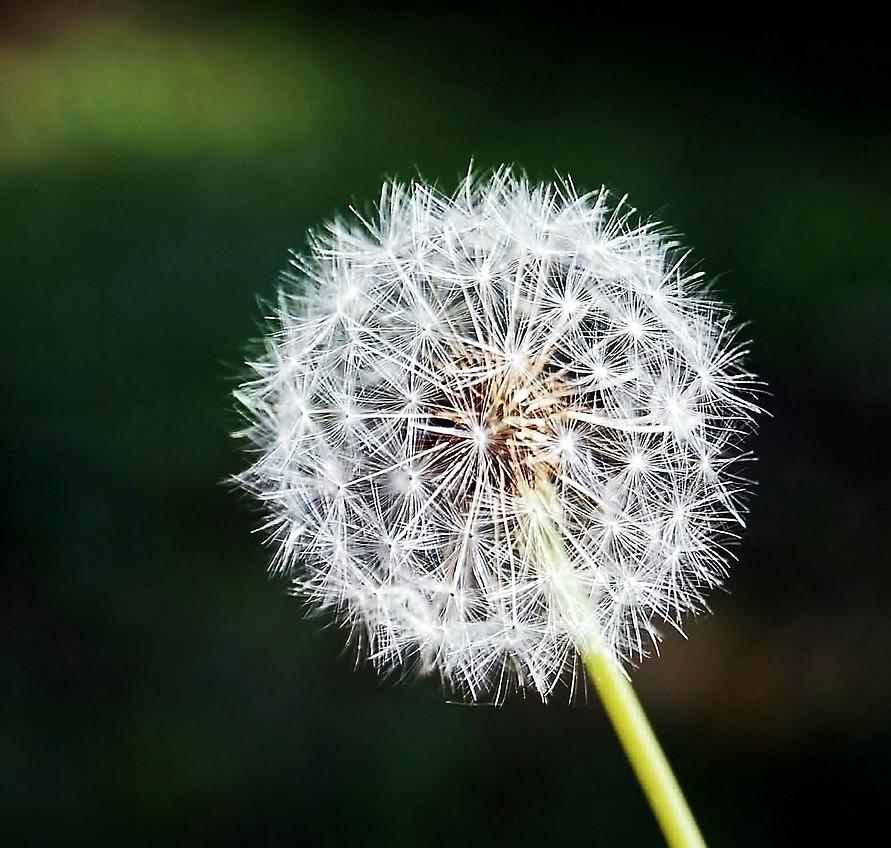 dandelion- (2).jpg
