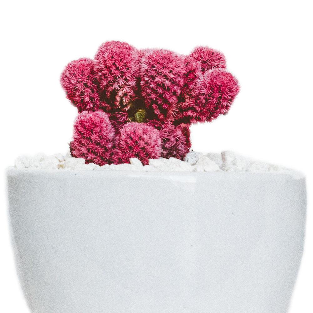 cactus violet.jpg