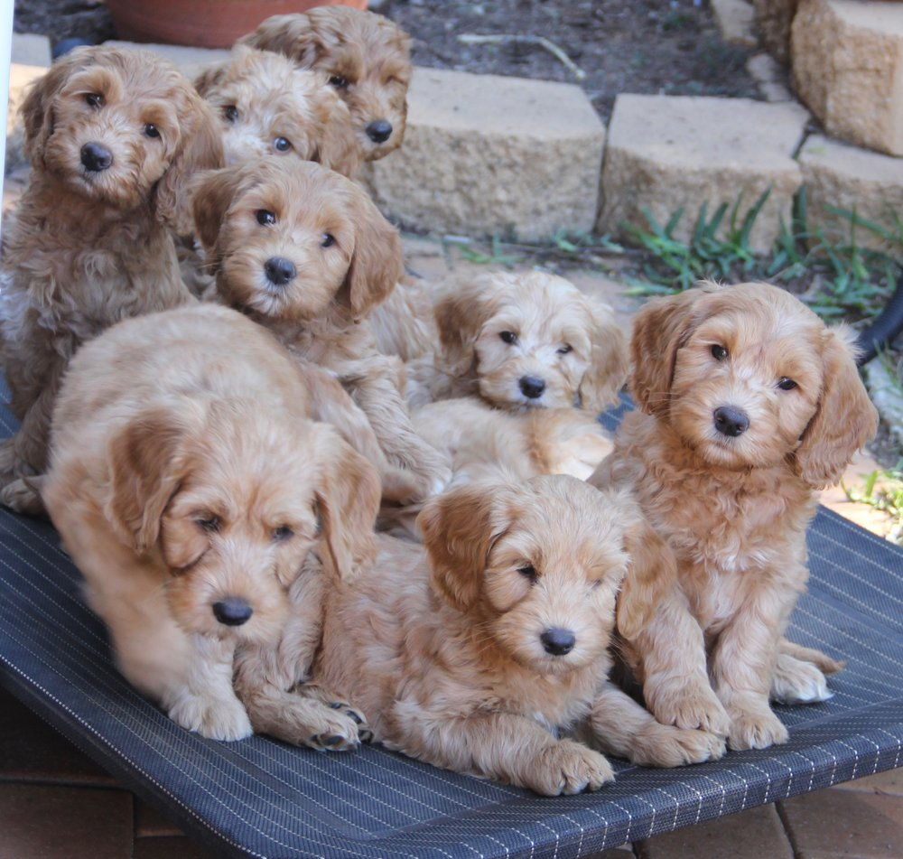 Adopting a Caralee Labradoodle. - Our Current Litter and Our Future Litter pages provide information about the litters including expected size range and colours. If you are interested in adopting a puppy from one of these litters you will need to complete an application form.