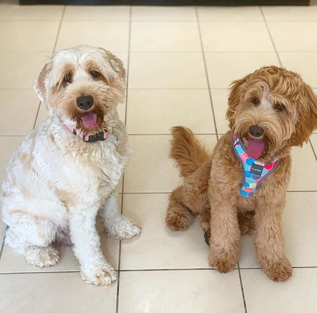 Millie visited today & was lucky@to hang out with her Mum Lexi (Caralee Jasmine). They got on like a house on fire and clearly remembered each other.  Do think they look alike? 🐶🐾😍 #labradoodle #australianlabradoodle #caraleeaustralianlabradoodles #caraleelabradoodles #labradoodlesofinstagram #mumanddaughter