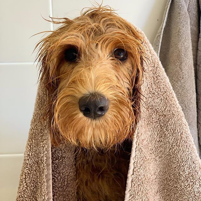 The force is strong in this one 🤣 #lookslikeawookie #starwarsday #may4th #may4th2019 📷 Caralee Missy by @maxandmilliew . . #labradoodlesofinstagram #labradoodlelovers #caraleelabradoodles #brisbanelabradoodlebreeder #labradoodlesofinstagram #labradoodlesofbrisbane