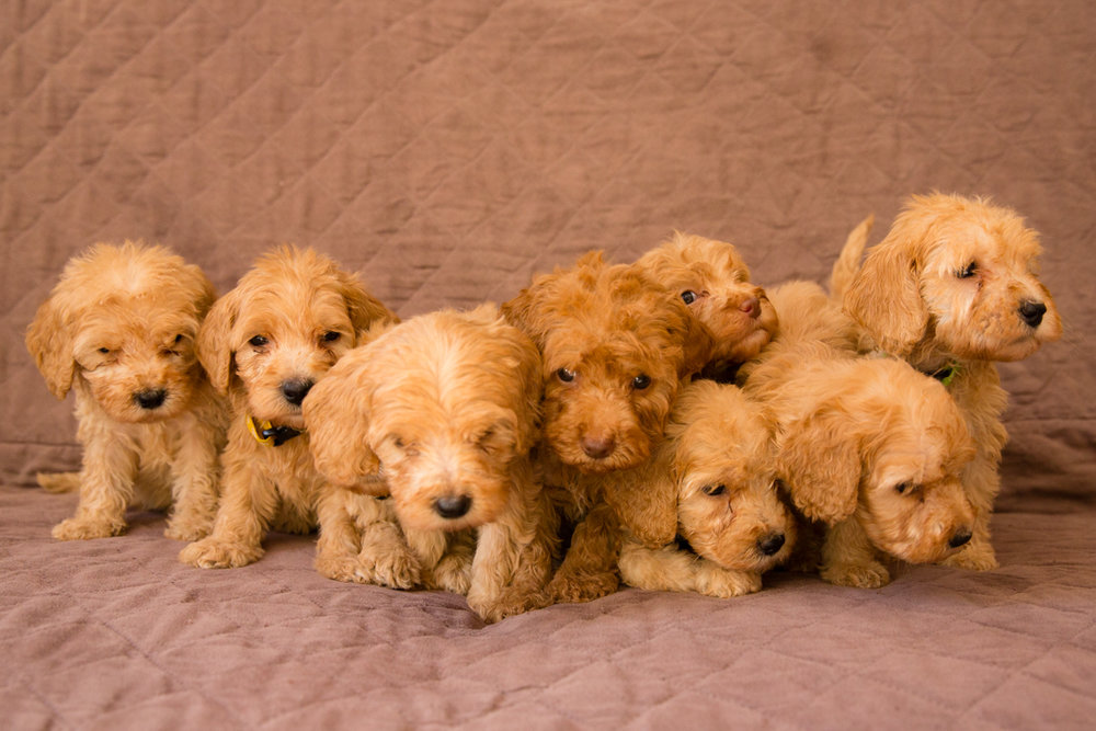 Caralee-Mae's-puppies_02.jpg