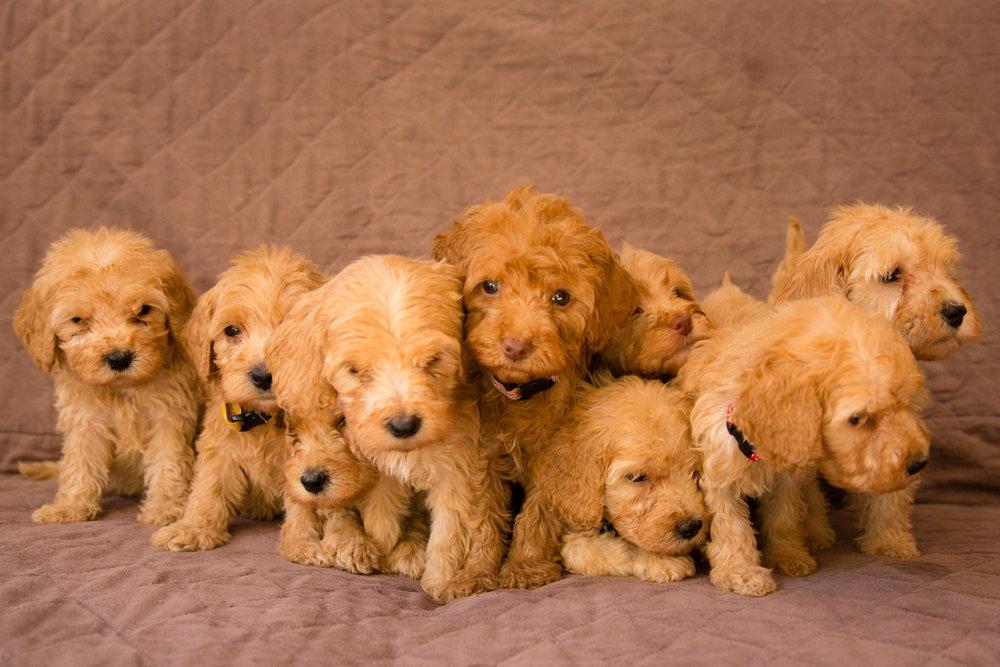 Caralee-Mae's-puppies_03.jpg