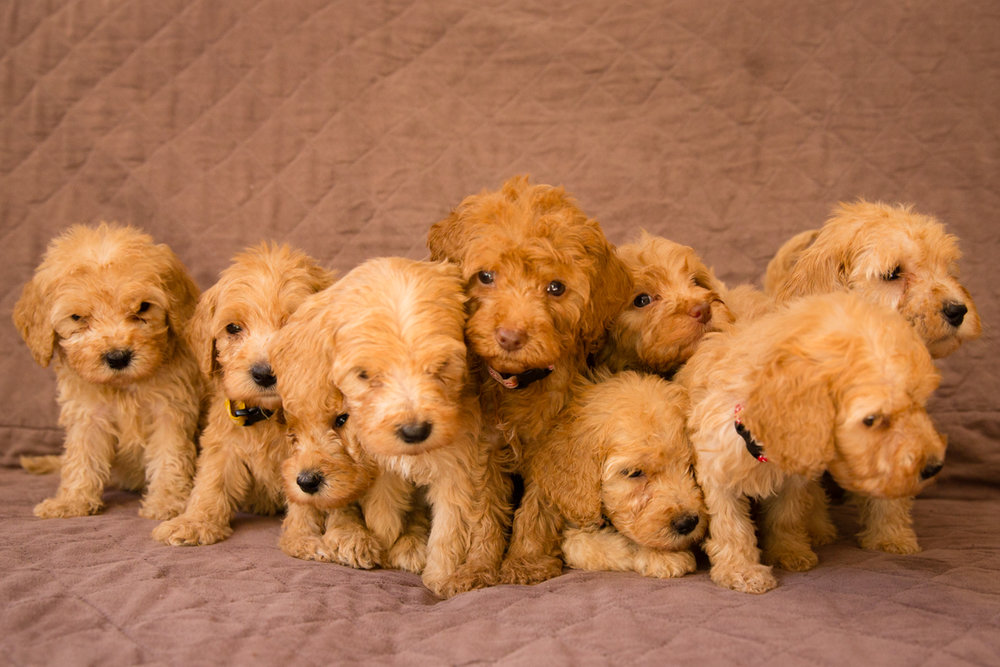 Caralee-Mae's-puppies_04.jpg