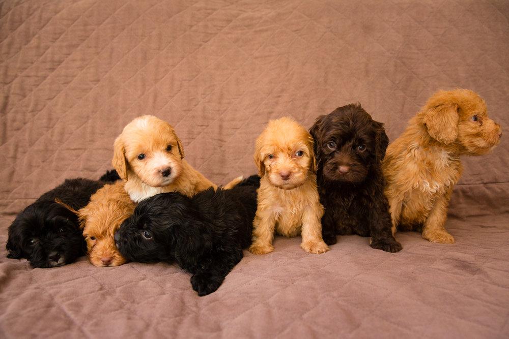 Bellissimo Opal's-puppies_01.jpg