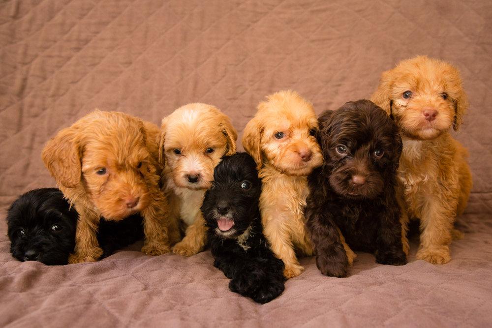 Bellissimo Opal's-puppies_02.jpg
