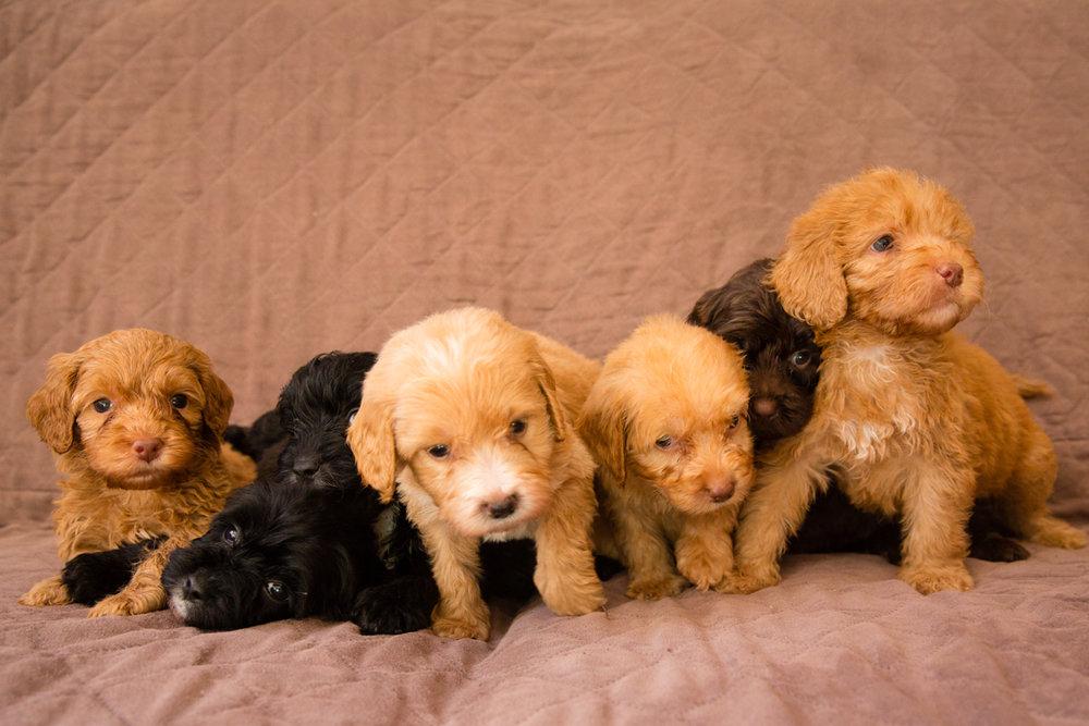 Bellissimo Opal's-puppies_03.jpg