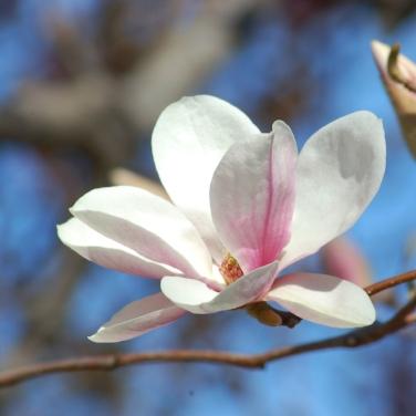 saucer-magnolia-bloom-Alexandrina-56a585365f9b58b7d0dd4206.jpg