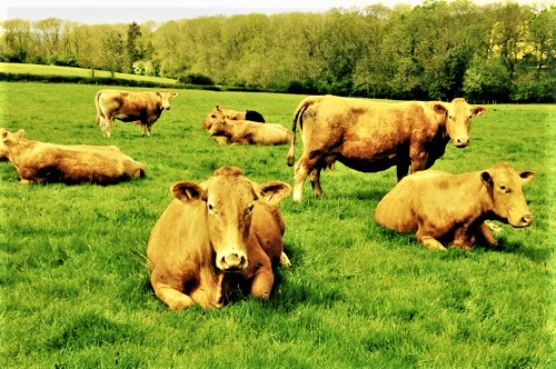 Grass fed cattle - - March House Farm