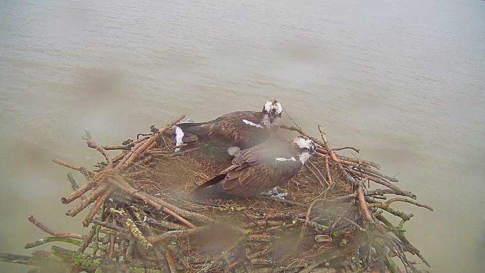 Maya and 33(11) - - Rutland Osprey Project