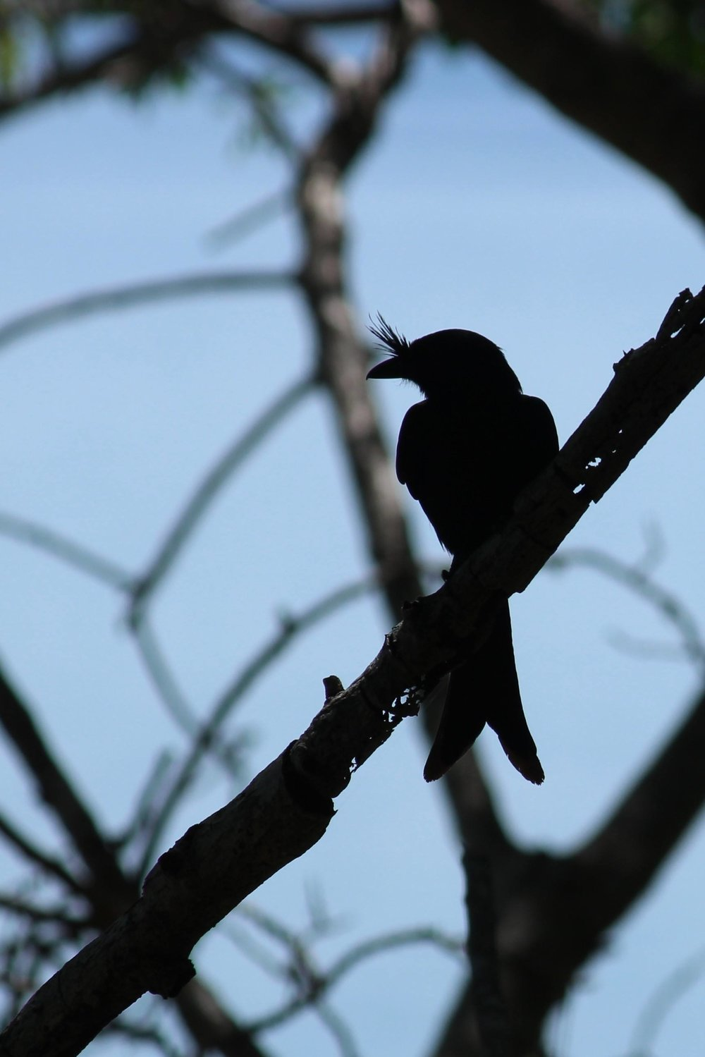 Madagascar Crested Drongo silhouette against the morning sky. Photo credit Lucy Prescott