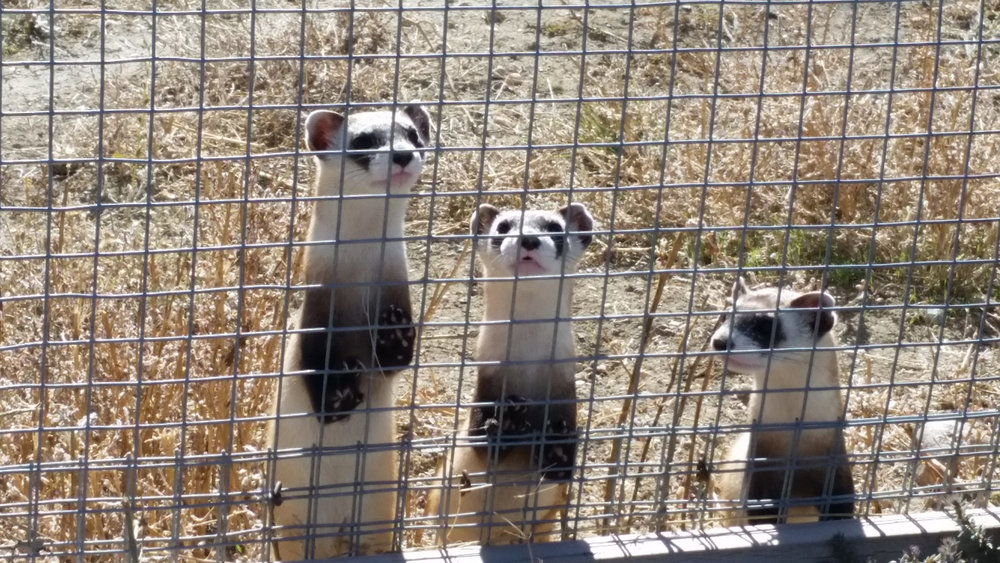 Black-footed Ferrets in Preconditioning Pens! Photo Credit: Ryan Moehring / USFWS