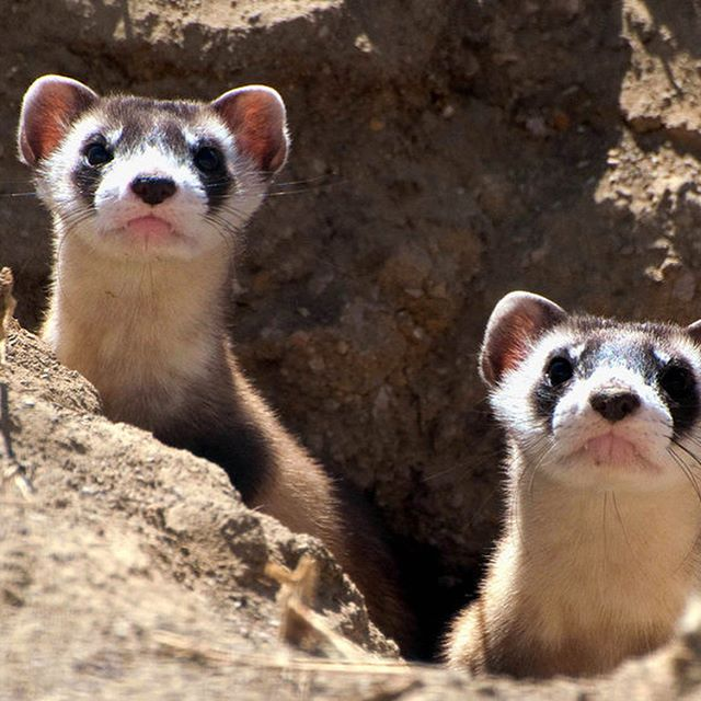 We've been away for a little while, but we're finally back! Check out the latest post on Life Gone Wild and find out all about the gorgeous black-footed ferret! These guys have managed to come back from the brink of extinction TWICE thanks to the hard work of conservationists, scientists and many others! Thanks a lot to Kate Wetzel for the request! This turned out to be a cracker of a topic! Learn all about the most endangered mammal in North America from the link in our bio! Photo credit: Kimberly Fraser / USFWS and NPS #animal #animals #conservation #wildlife #wild #hunting #prairie #ferret #blackfootedferret #endangered #endangeredspecies #extinction #genetics #training #usa #america #americanwildlife #burrow #lifegonewild #grasslands #smithsonian #conservationbiology #backfromextinction