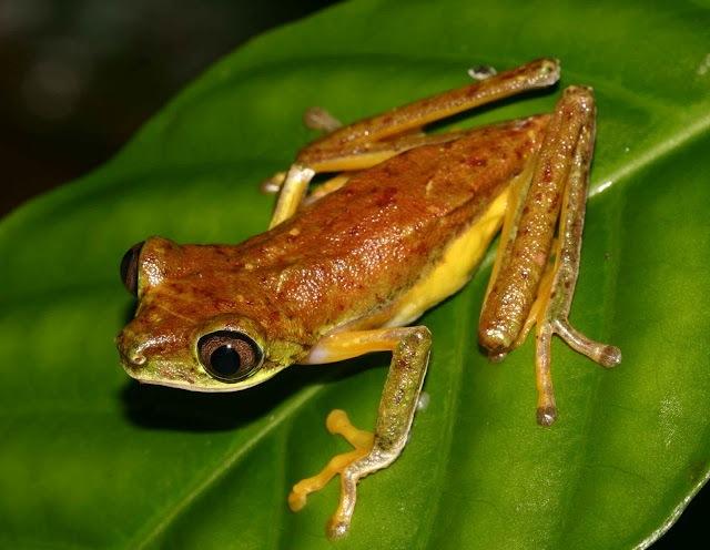 An individual on the prowl! Photo Credit: Matt Wilson/Project Lemur Frog