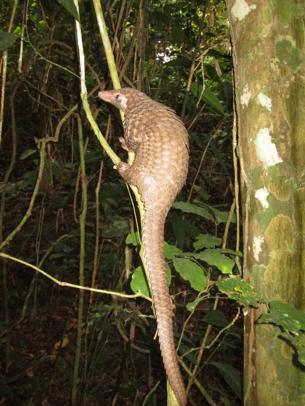 A Tree pangolin ( Phataginus   tricuspis ) climbing up into the undergrowth © Rod Cassidy