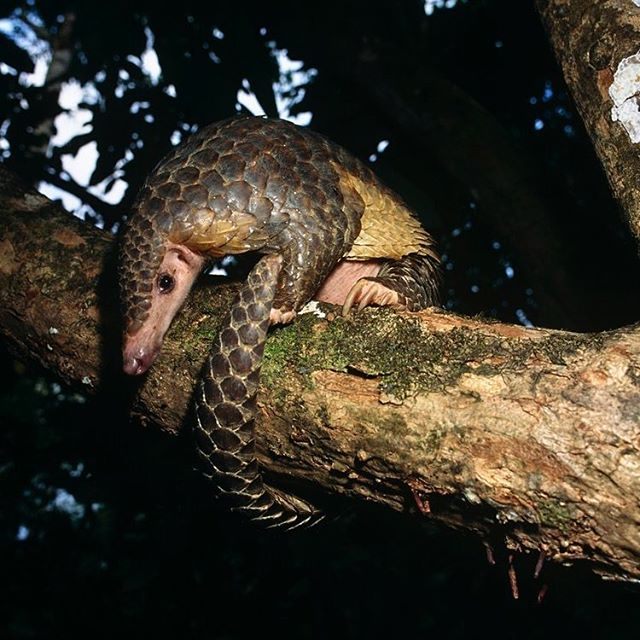 Check out this gorgeous #pangolin! These amazing and bizarre mammals are the feature of our next blog post! Help us celebrate #worldwildlifeday with this awesome animals! There are plenty of crazy facts to find out in this one! Make sure you have a read, and let us know what you think!! Link in the bio. Photo by Michael Pitt #wildlife #animal #endangered #criticallyendangered #trafficking #lifegonewild #forest #scales #mammal #bizarre #amazing #asia #africa #tongue #tree