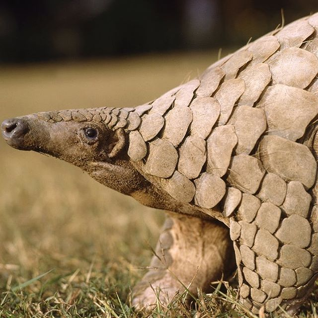 Have you read about how amazing the pangolin's tongue is? When fully extended, it is almost twice as long as the animal! There are plenty of incredible things to find out about the pangolin, so make sure you check out our last blog post! Link in the bio, photo by Gerald Cubitt #pangolin #animal #wild #wildlife #saveourspecies #endangered #endangeredspecies #criticallyendangered #weird #scales #tongue #asia #africa #trafficking #forest #animals #lifegonewild #conservation #mammal @pangolinconservation @pangolinpals @_amazing_pangolins
