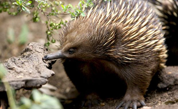 The echidna could provide a key example in how to save pangolins! Photo: Zoos Victoria