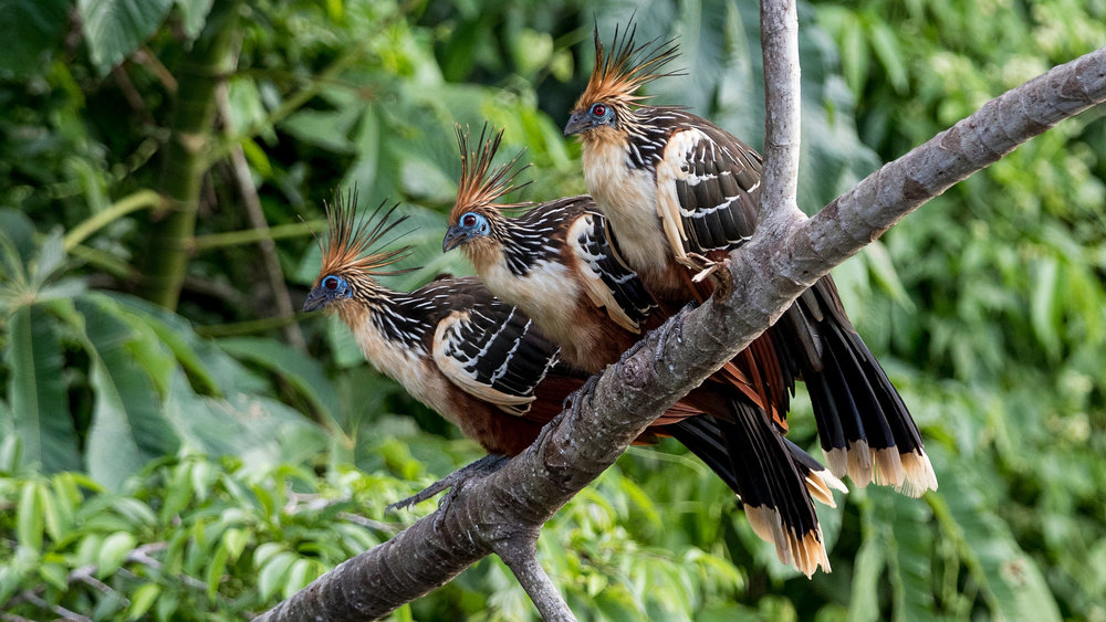 The sociable Hoatzin! Photo Credit: Dirk van Mourik https://www.flickr.com/photos/dirks_birds/39140688485/