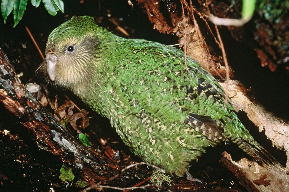 A 75 day old 'Manu' the Kakapo! Photo courtesy of NZ Department of Conservation (DOC), taken by Don Merton