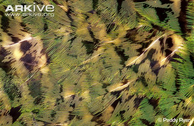 The mottled colouration of the Kakapo's feathers provide excellent camouflage in their forest homes. Photo by Paddy Ryan. ARKive