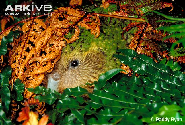 The curious face of a Kakapo. Aren't they gorgeous birds! Photo by Paddy Ryan | ARKive