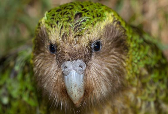 How could you not love that little face?? Sirocco is a bird worth falling in love with! Photo: DOC