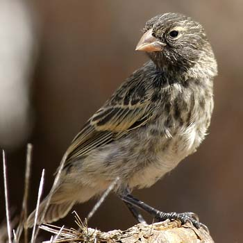 spot-finch-female.jpg
