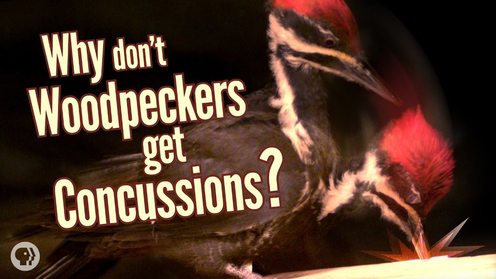 woodpecker concussion.jpg