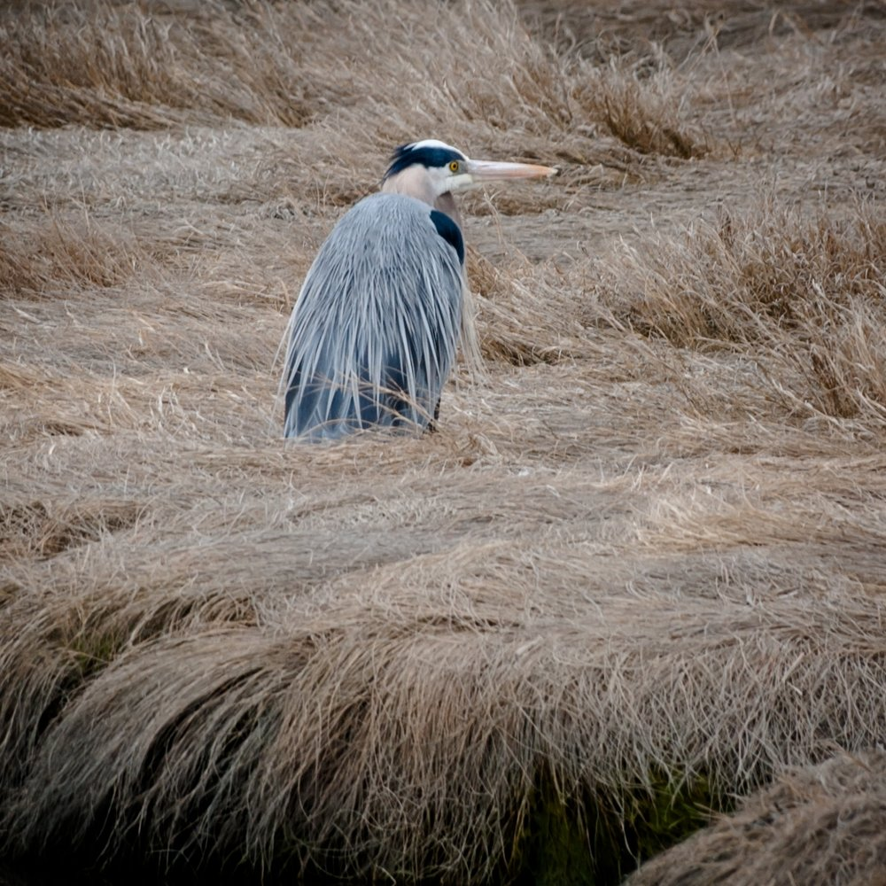 Great Blue Heron in Freeport.