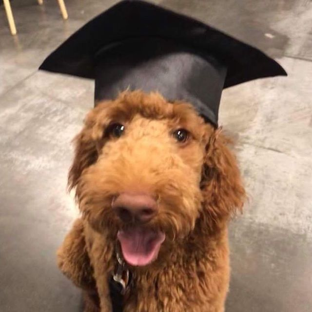 Meet Seppi 🎓 This handsome pup just graduated from dog training school and he's now signed up with his family to participate in Charlene's 5k Dog Run, supporting Brain Injury Research in youth. @charlenesdogrun @martinasailer @sidewalkdog @chuck_and_dons @cuddlemuttllc @iron.doggy @bringfido @threeriversparks @pinkconcussions #charlenesdogrun #charlenesdogrun5kchallenge #braininjuryawareness #tbisurvivor #childrenshealth #youthathletes #chuckanddons #sidewalkdog #cuddlemutt #irondoggy #dogsofminnesota #dogsofmn #twincitiesdogs #dogsofinstagram #minnesotadogs #mnrunner